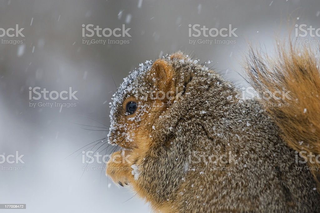 Snow Covered Squirrel royalty-free stock photo