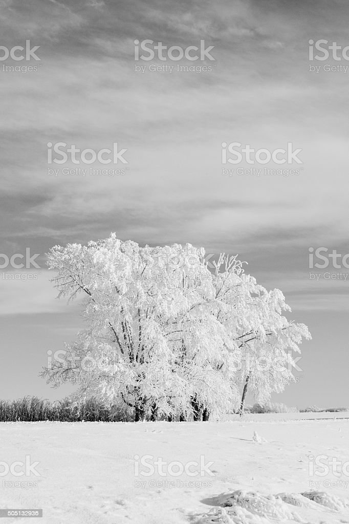 Snow Covered Trees in Black and White stock photo