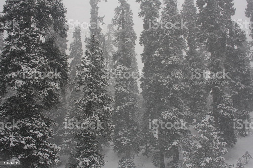 Snow covered trees in Gulmarg, Kashmir stock photo