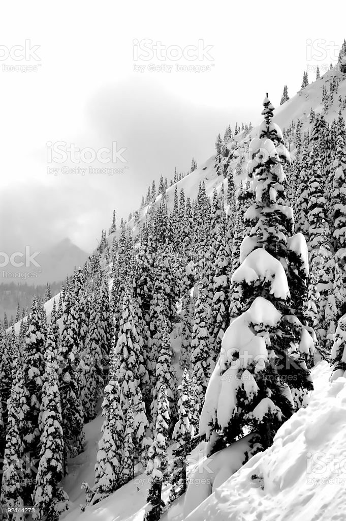 Snow Covered Trees  - Slope1 royalty-free stock photo