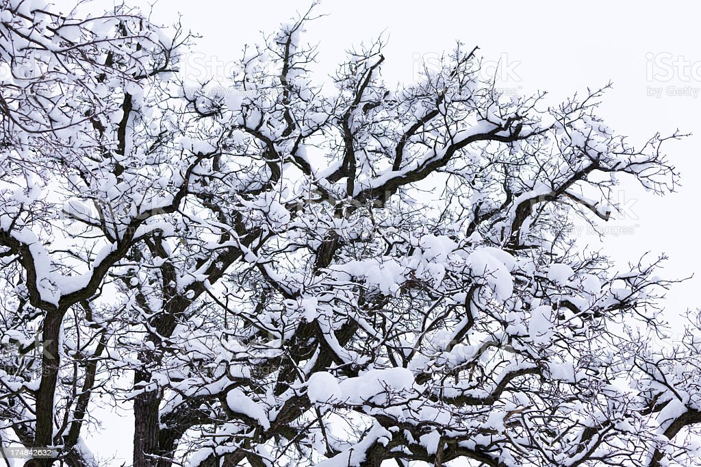 Snow Covered upper Branches of Tree royalty-free stock photo