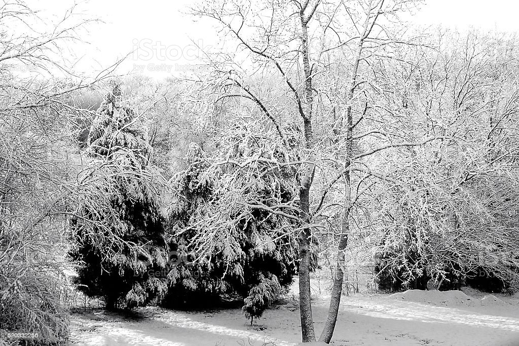 Snow covers trees and the ground after nightime snowfall stock photo