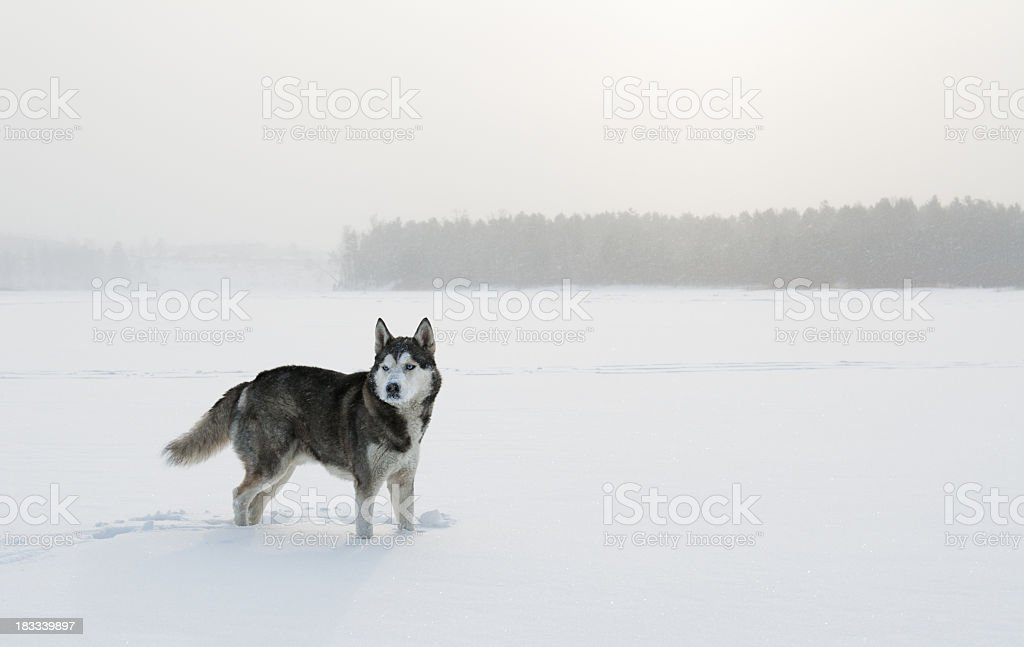 A snow dog on ice looking over the horizon  royalty-free stock photo