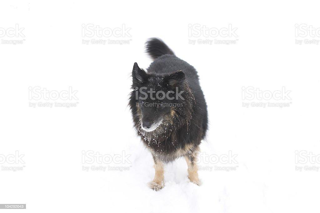 Hund im Schnee Lizenzfreies stock-foto