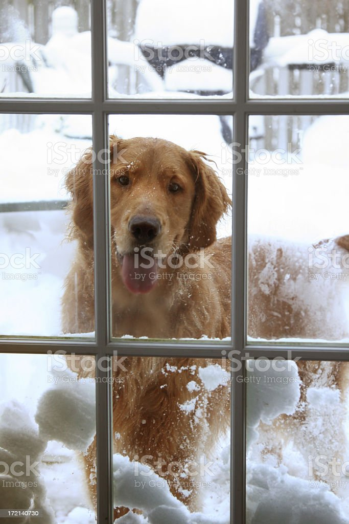 Snow dog royalty-free stock photo