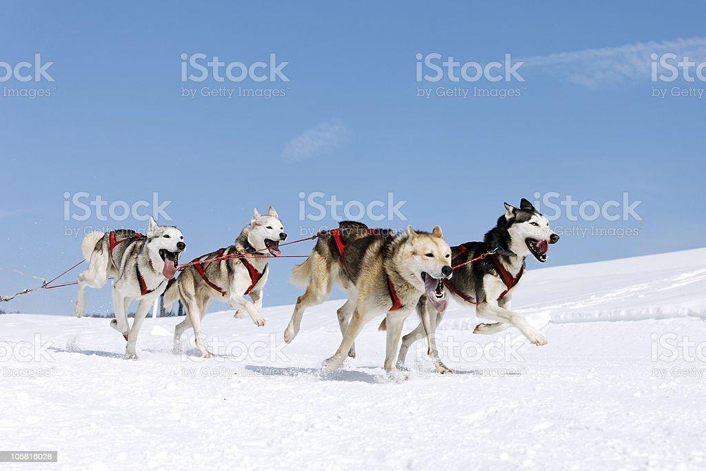 snow dogs stock photo
