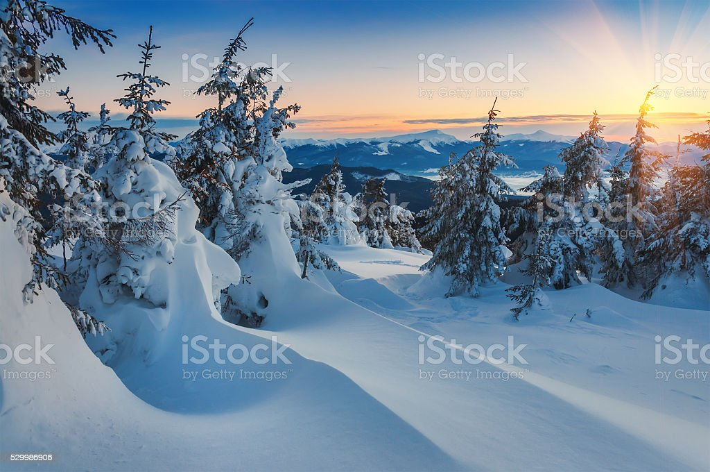 snow drifts and firs stock photo