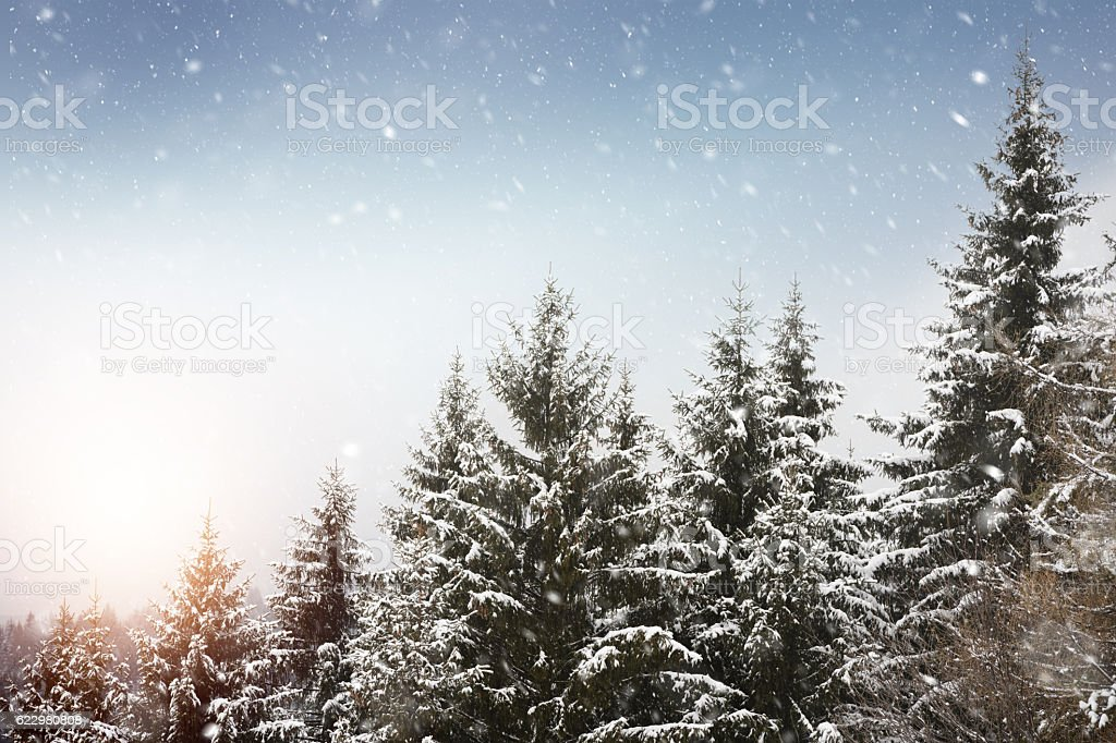 Snow falling in pine forest stock photo