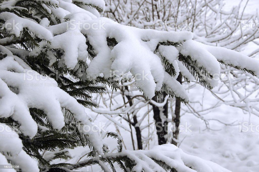 Snow fir-tree branch stock photo