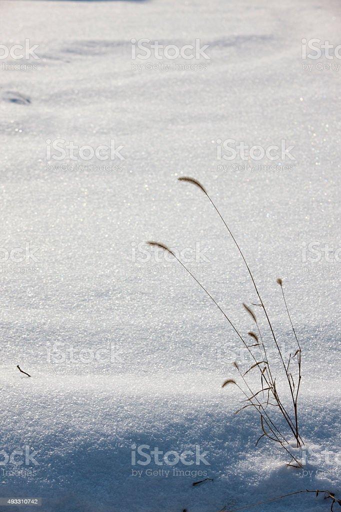 snow, foxtail stock photo