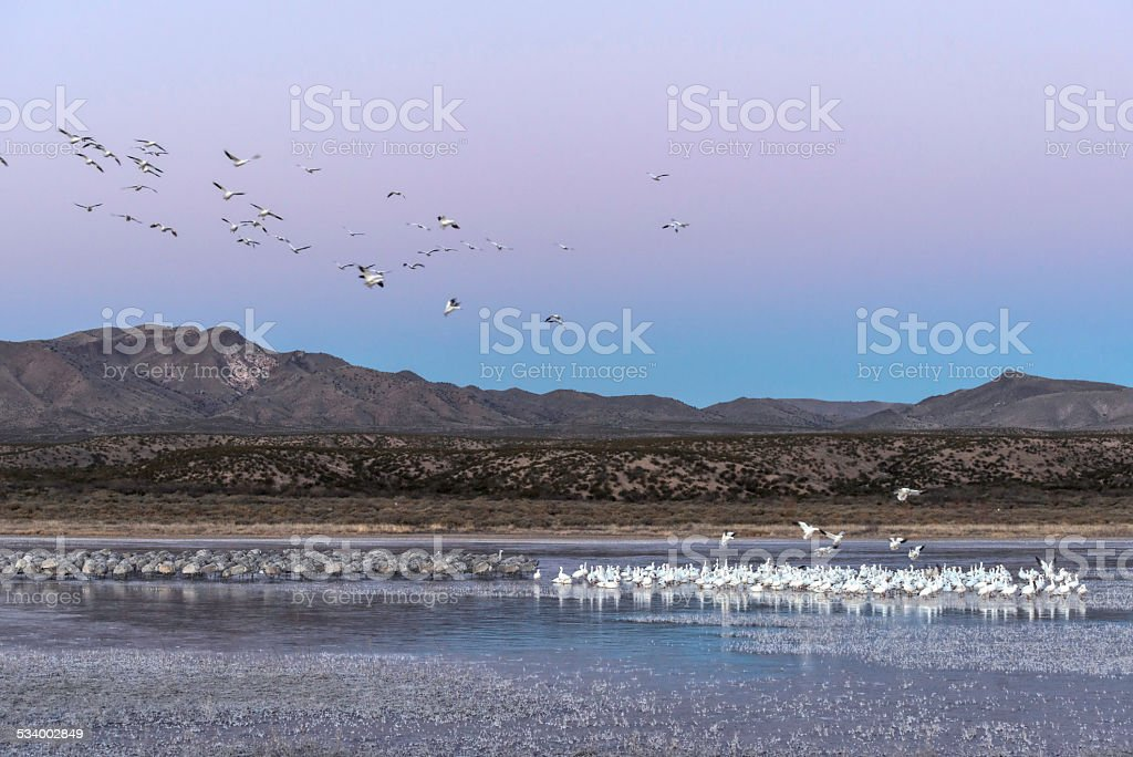 Snow Geese and Sandhill Cranes on Bosque Del Apache marshes stock photo