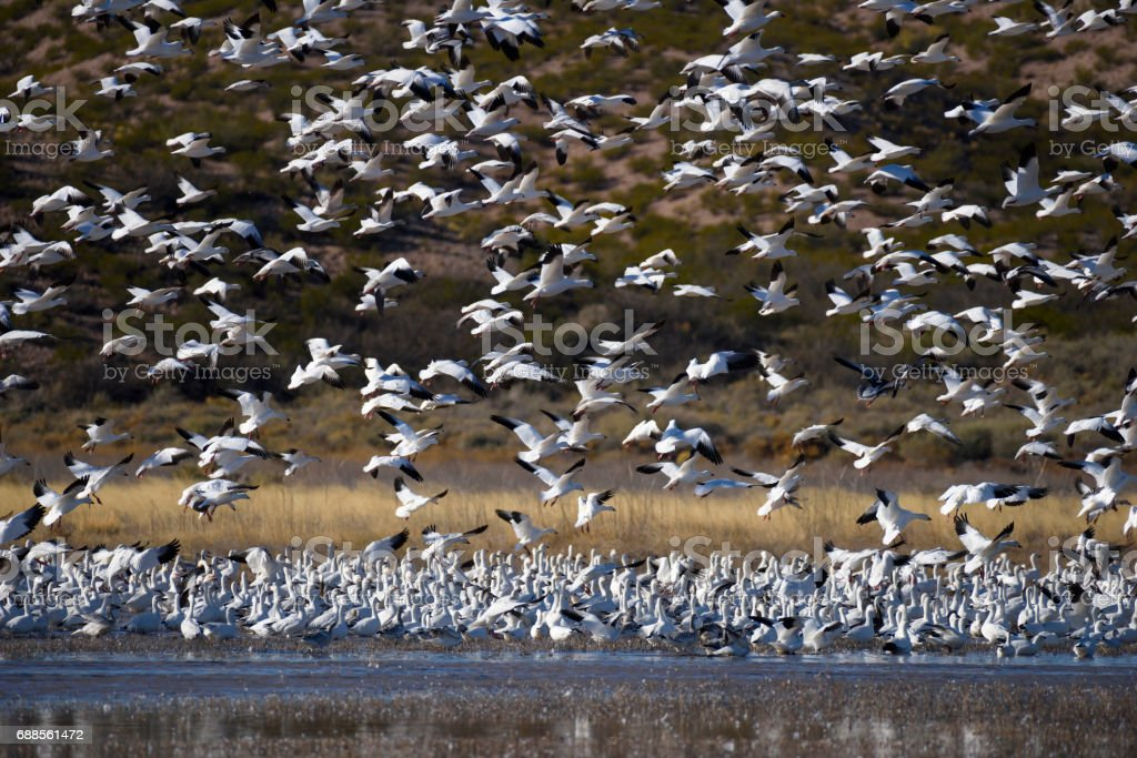 Snow Geese at Pond in New Mexico stock photo