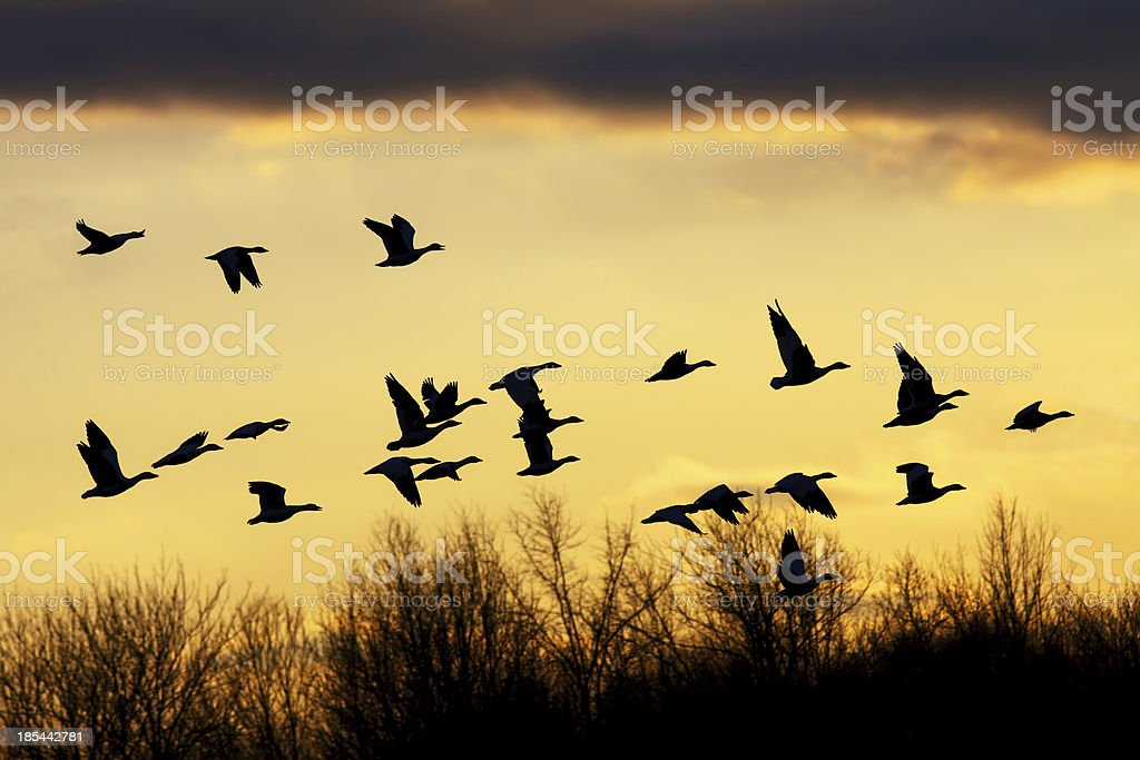 Snow Geese at Sunset stock photo