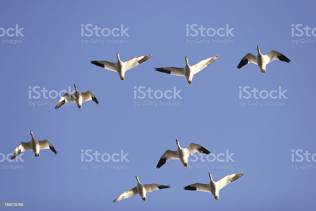 Snow geese background stock photo