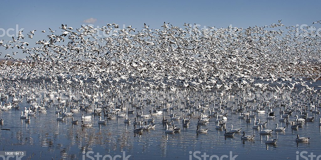 Snow Geese Disturbed royalty-free stock photo