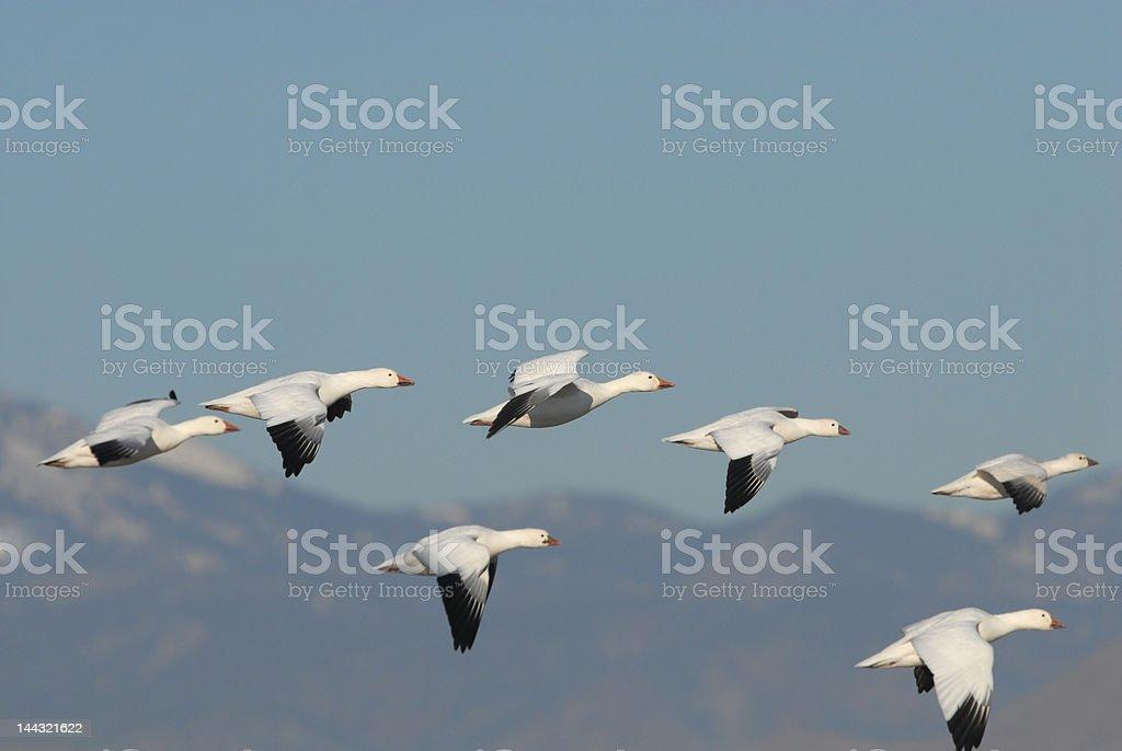 Snow Geese Flight stock photo