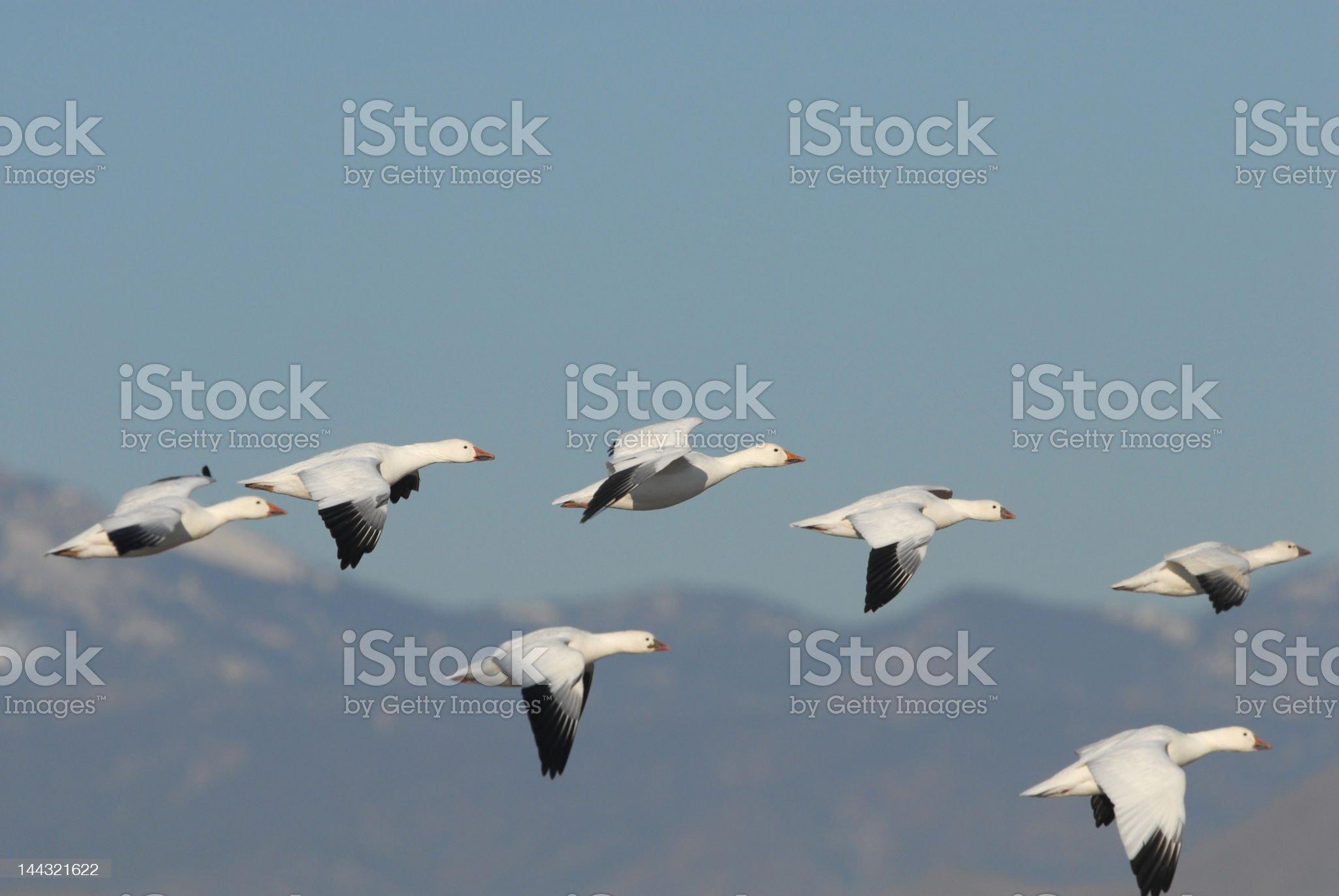 Snow Geese Flight royalty-free stock photo