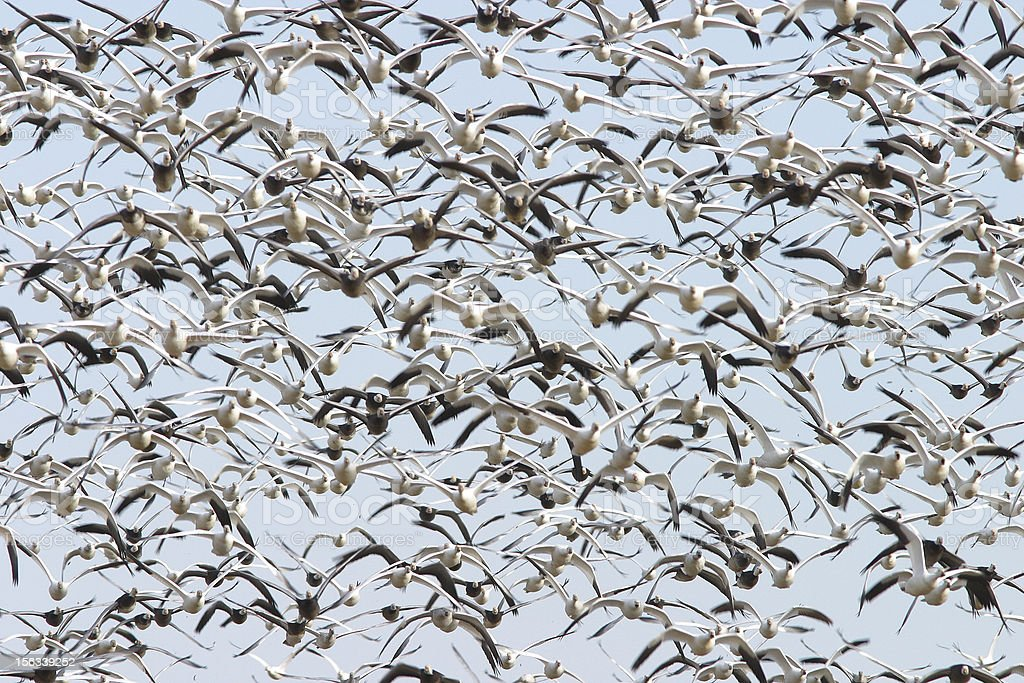 Snow geese flock in flight royalty-free stock photo