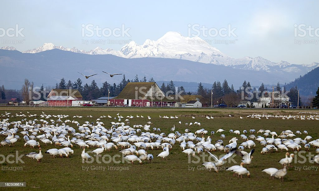 Snow Geese Flock in Skagit Valley stock photo