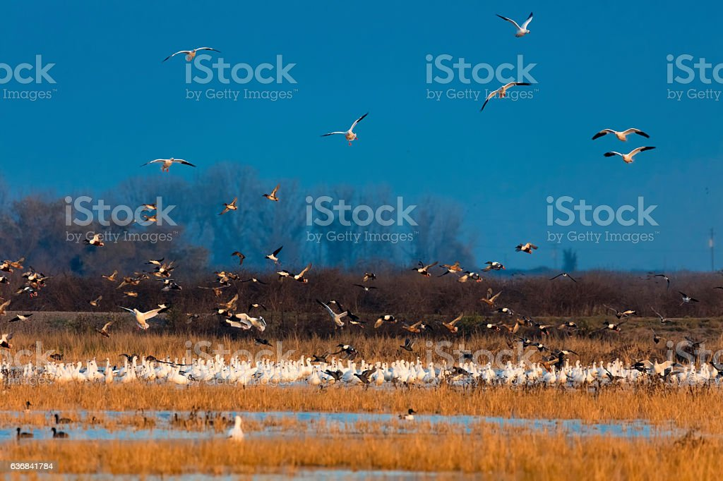 Snow Geese Flying at Merced Wildlife, California, USA stock photo