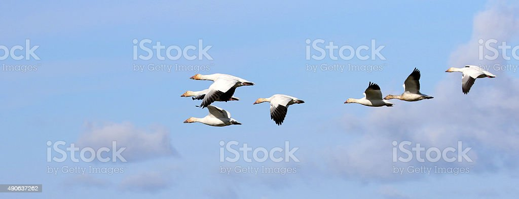 Snow Geese Flying Formation - Migration stock photo
