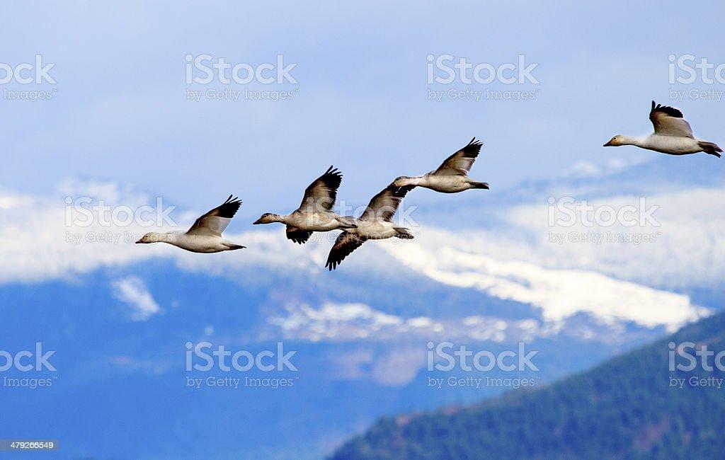 Snow Geese Flying Mountains Skagit Valley Washington stock photo