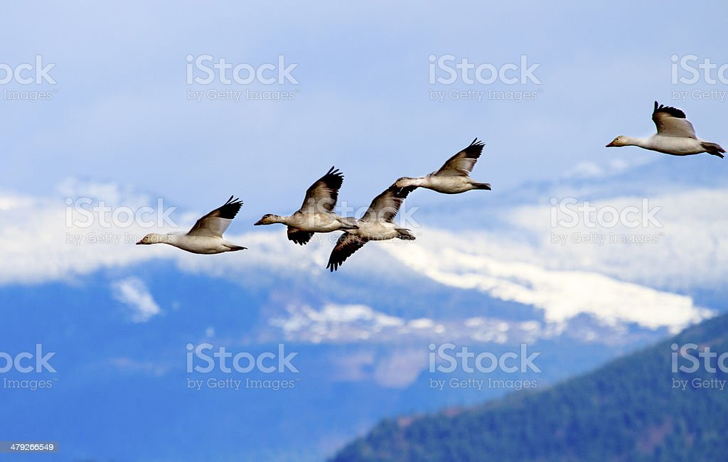 Snow Geese Flying Mountains Skagit Valley Washington stock photo
