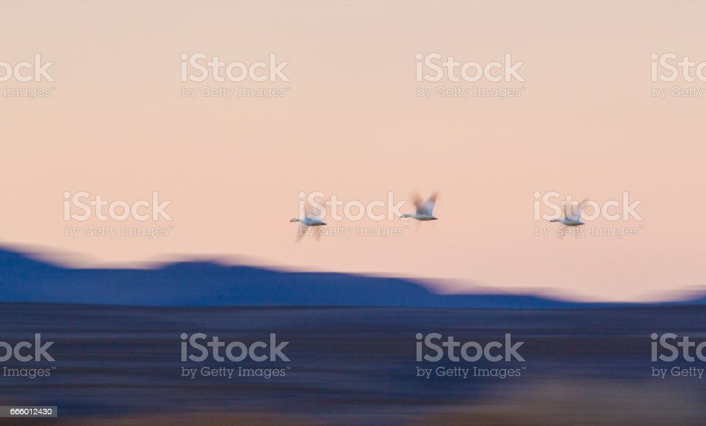 Snow Geese Flying Over Bosque del apache. stock photo
