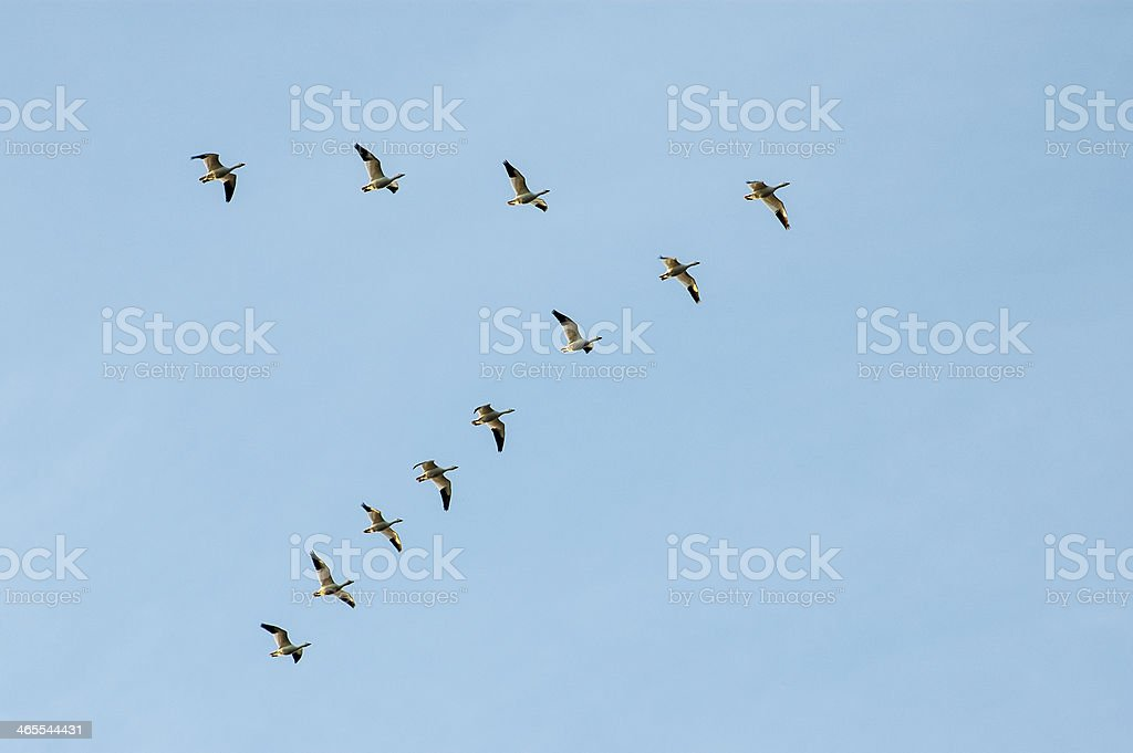 Snow Geese Flying stock photo