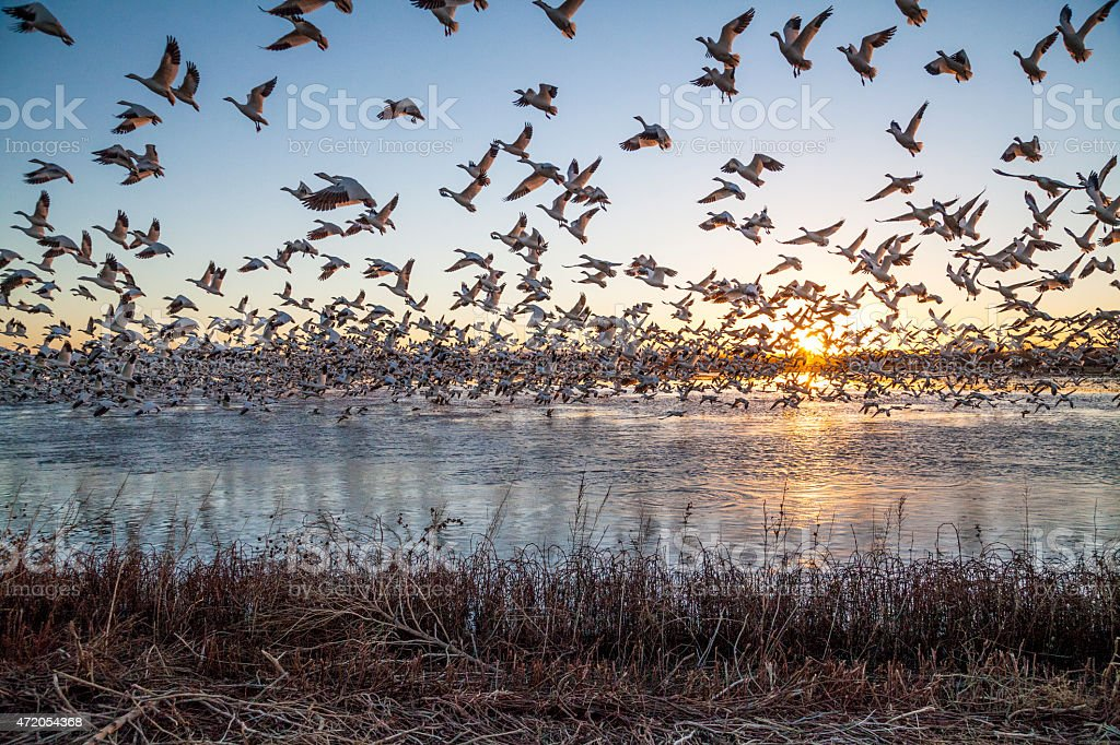 Snow Geese flying up as the sun rises stock photo
