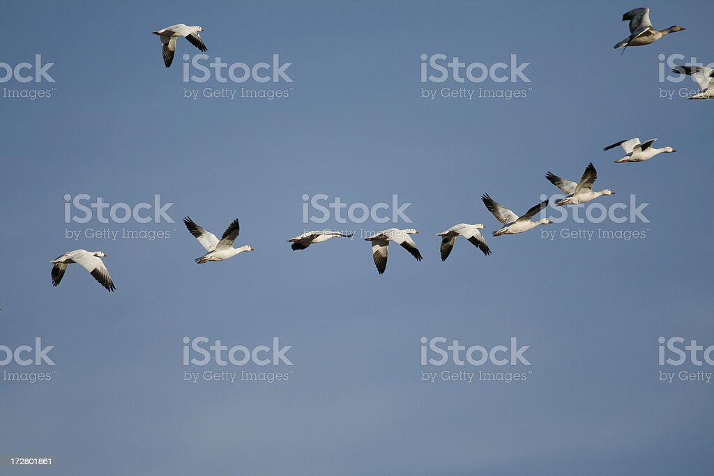 Snow Geese Formation Flying royalty-free stock photo