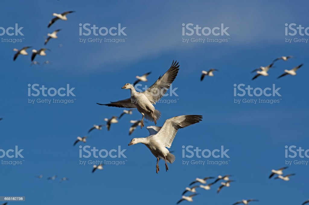 Snow Geese in Flight stock photo