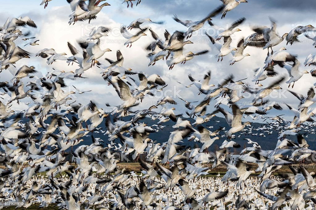 Snow geese in motion stock photo