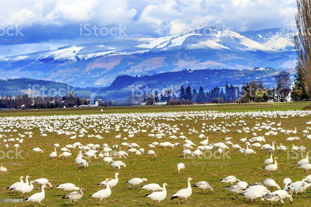 Snow Geese Mountains Skagit Valley Washington stock photo