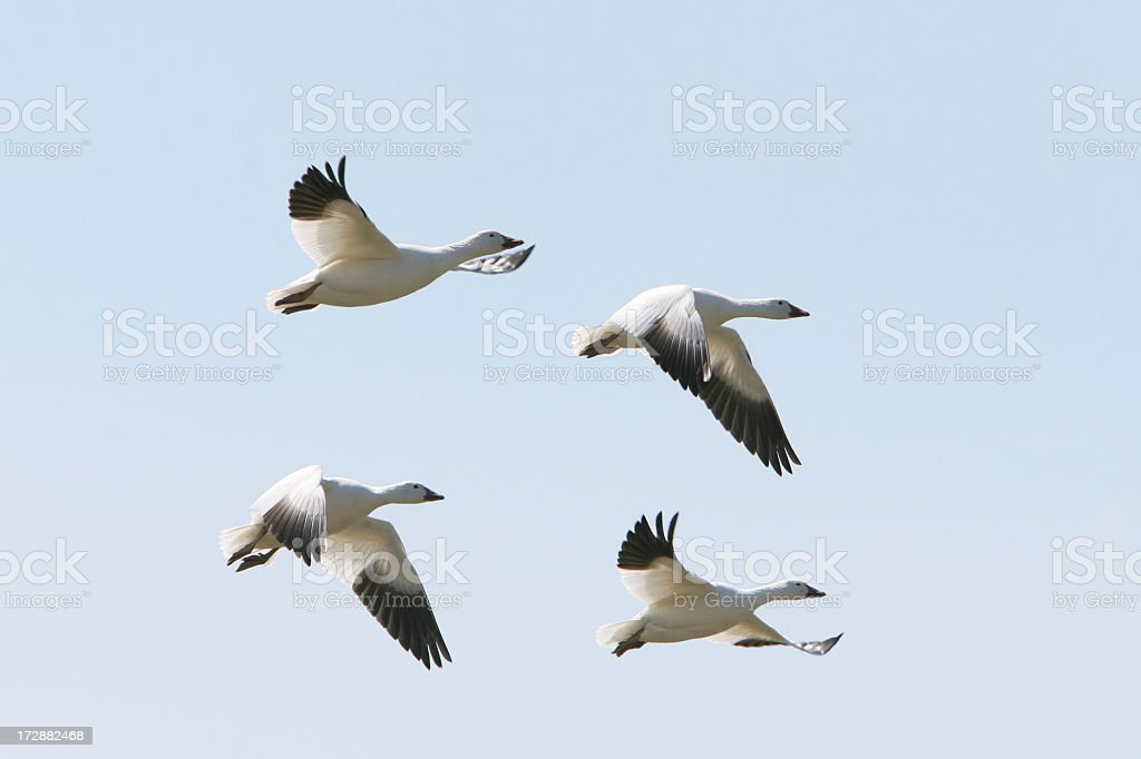 Snow geese stock photo