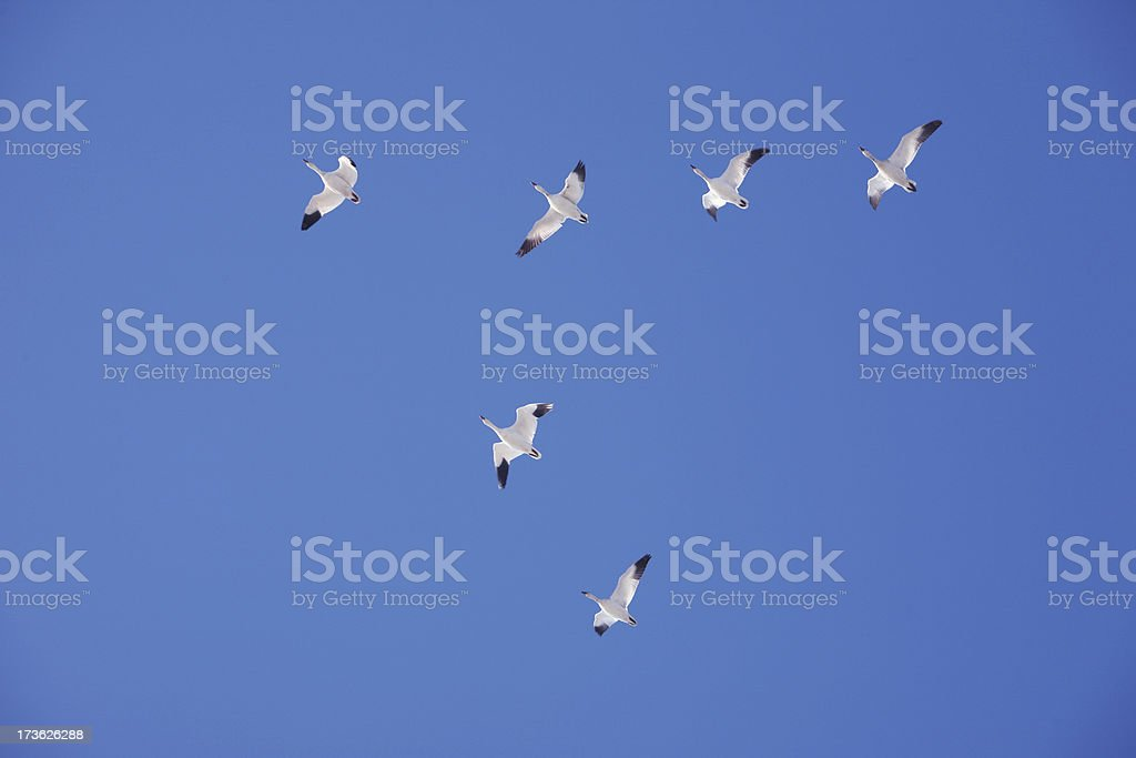 Snow Geese royalty-free stock photo