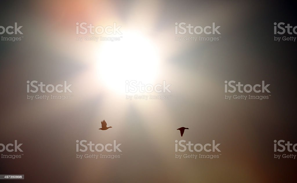 Snow Geese Sunrise stock photo