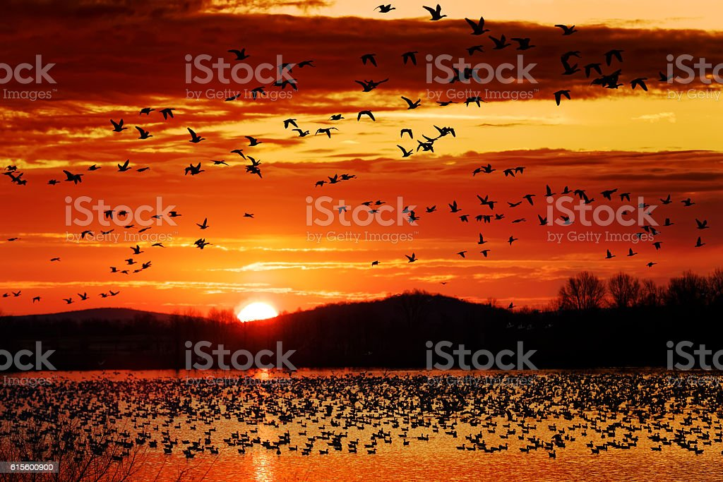 Snow Geese Take Flight at Sunrise stock photo