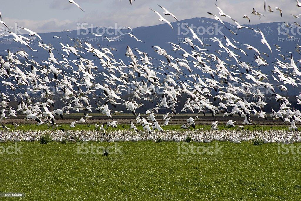 Snow Geese take flight royalty-free stock photo