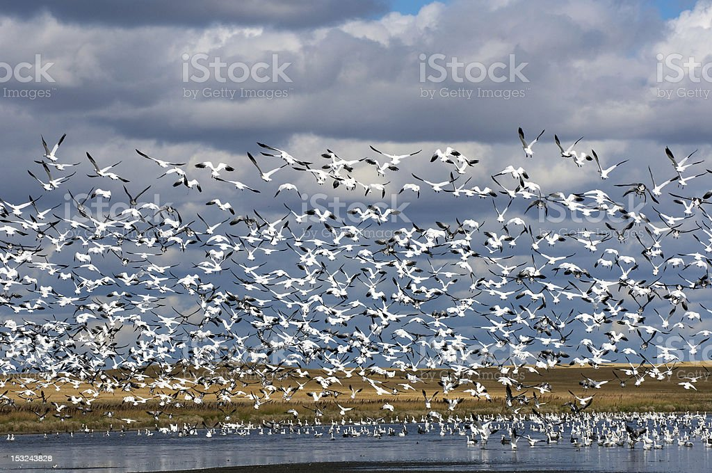 Snow Geese Taking Flight royalty-free stock photo