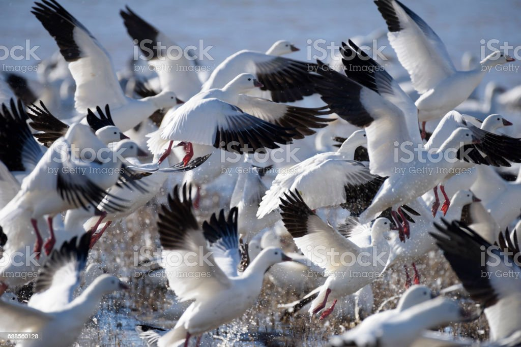 Snow Geese Taking Off in Flight stock photo