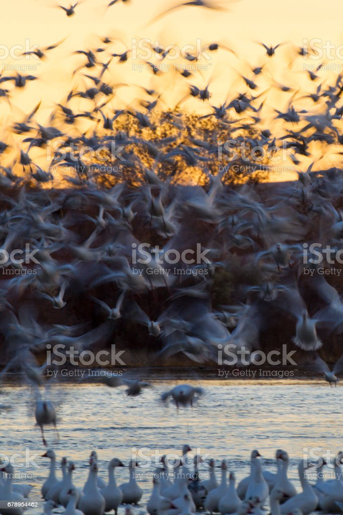 Snow Geese Taking off. stock photo