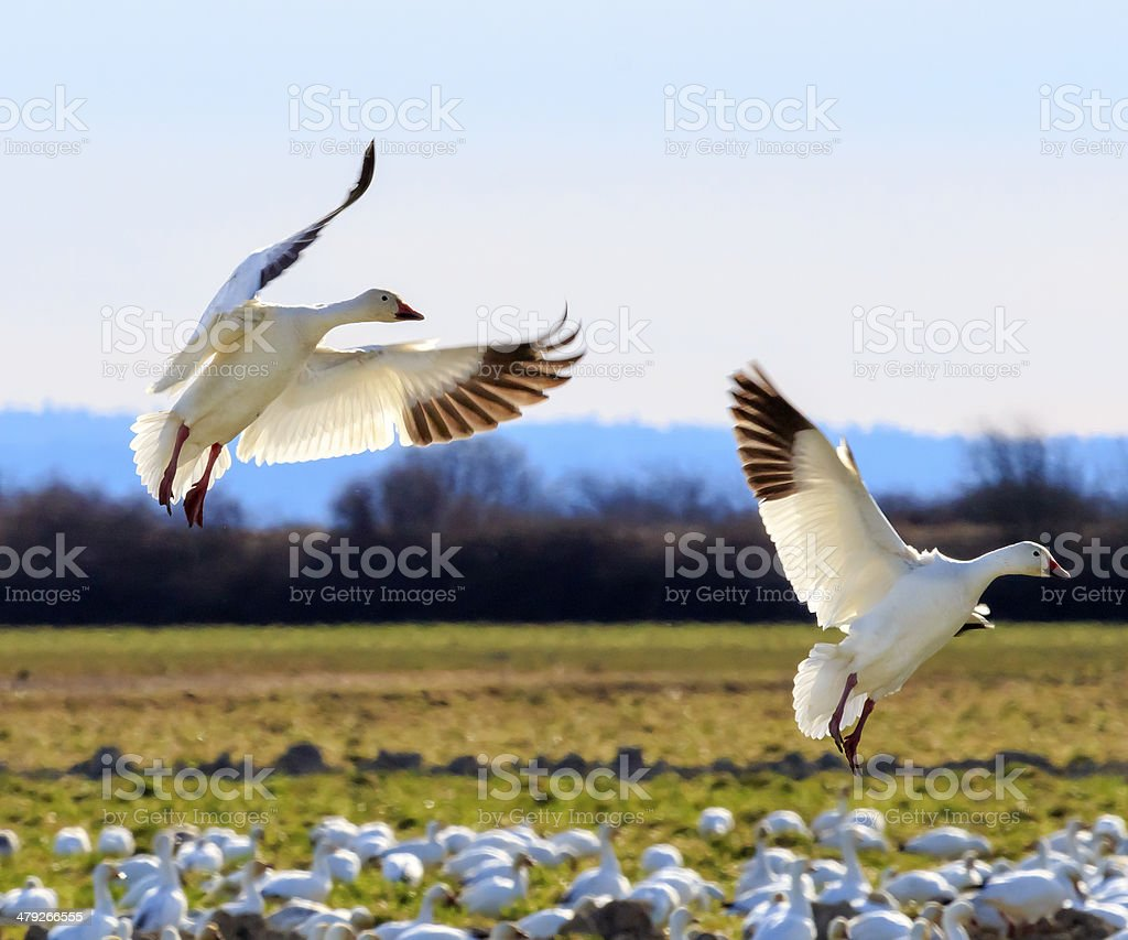 Snow Geese Wings Extended Landing stock photo