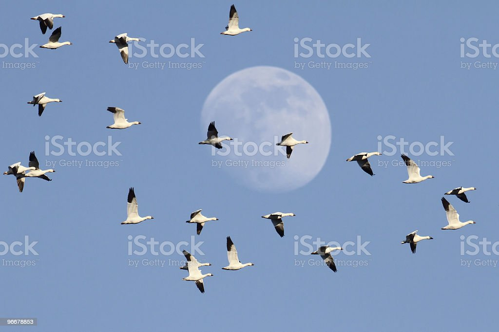 Snow Geese With Moon stock photo