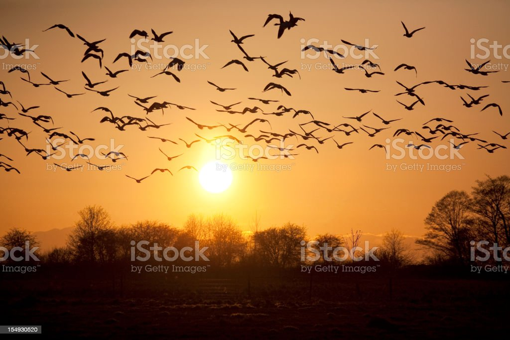 Snow Geese With Sunset stock photo