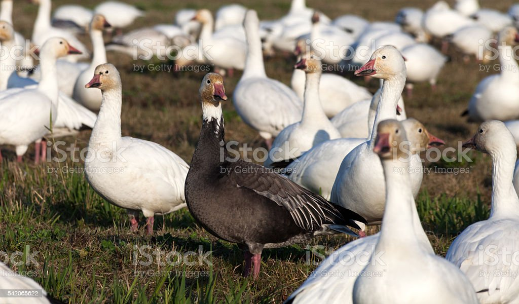Snow Goose and Blue Geese stock photo