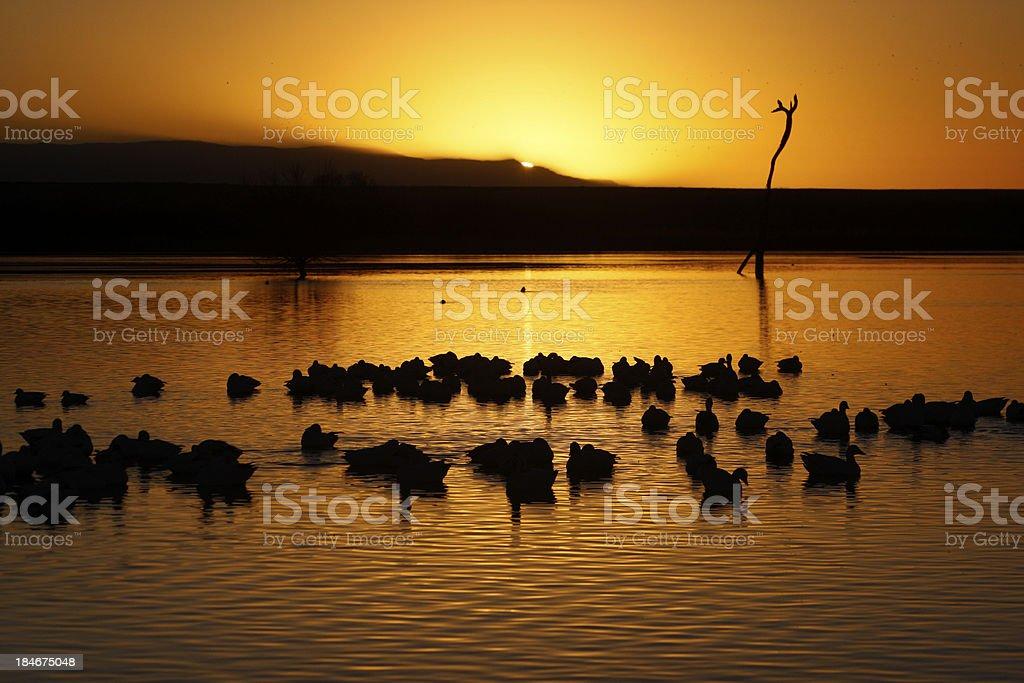 Snow goose, Anser caerulescens stock photo