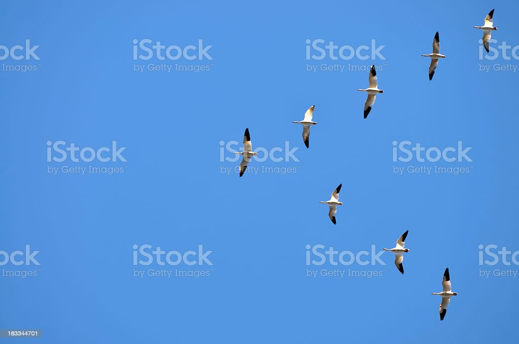 Snow Goose, Chen caerulescens, Migration royalty-free stock photo