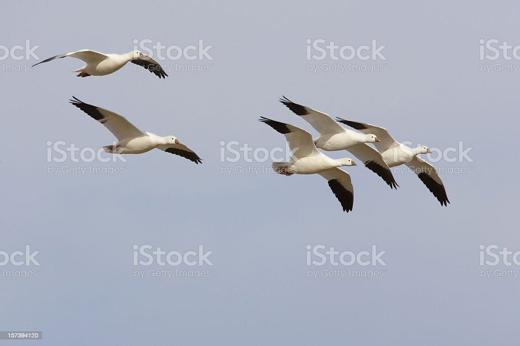 Snow Goose Flock Flying royalty-free stock photo