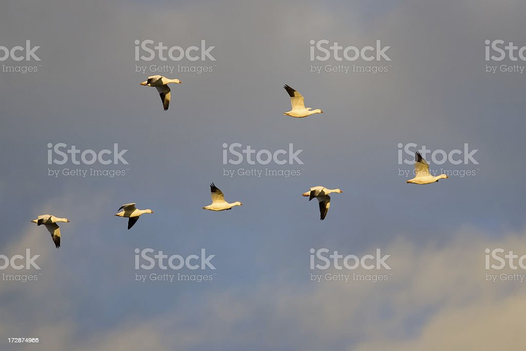 Snow Goose Flock Migrating in Flying V Formation royalty-free stock photo